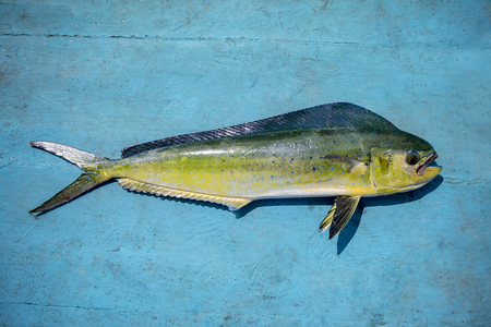 beautiful color and full body of common dolphinfish on blue wooden floor Stock Photo