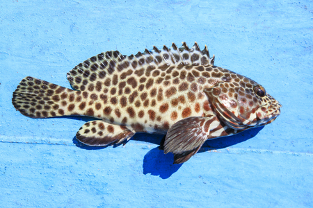 close up full body of grouper fish on blue wooden floor Reklamní fotografie