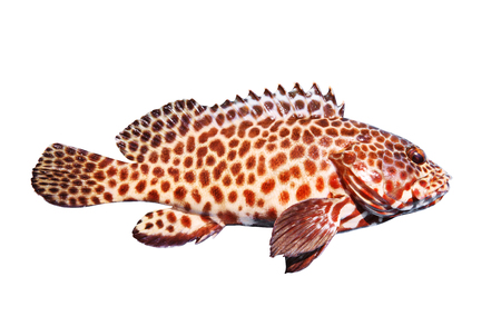 side view full body of grouper fish isolated white background