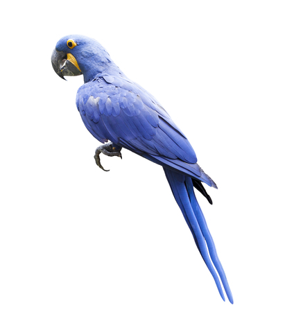 side view full body of hyacin macaw bird isolated white background Stock fotó