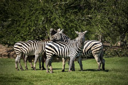 flock of zebra on green grass field