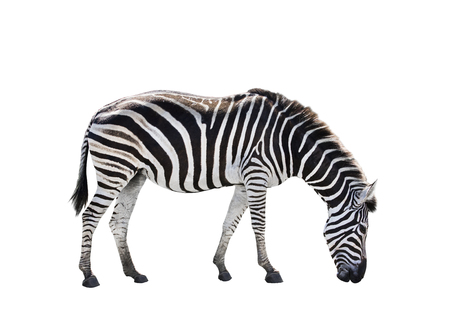 side view full body of african zebra isolated white background 版權商用圖片