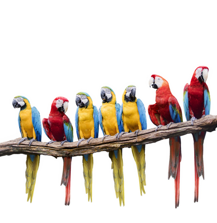flock of red and blue yellow macaw purching on dry tree branch isolated white background Banco de Imagens