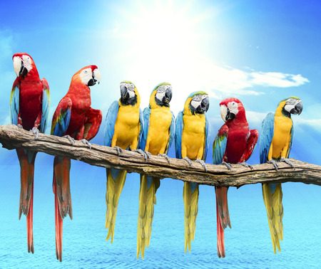 flock of red and blue yellow macaw purching on dry tree branch isolated white background Standard-Bild