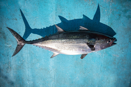 full body of tuna fish on blue wood of fishing boat