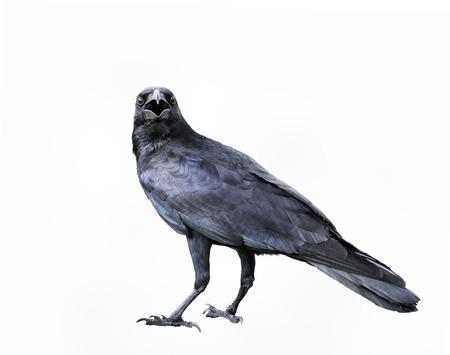 full body of black feather crow,raven bird isolated white background Stock Photo