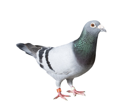 full body of speed racing pigeon bird with banding leg ring isolated white background Stock fotó - 99860859