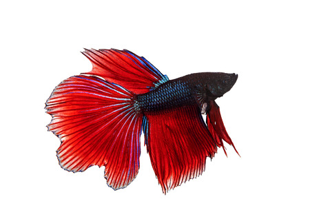 full body side view of red fin siamese betta ,fighing fish isolated white background Stock fotó