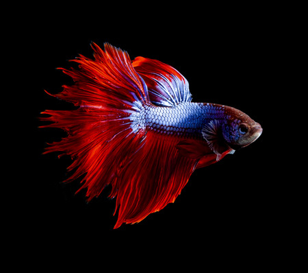 side view full body of red fin siamese betta fish on black background