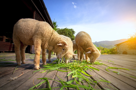 merino sheep eating luzi grass in countryside farm