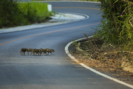 flock of little wild boar crossing road in khao yai national park thailand