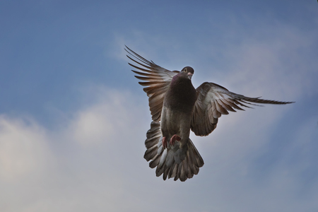 red choco color of homing pigeon hovering mid air against beautiful blue sky Stock Photo