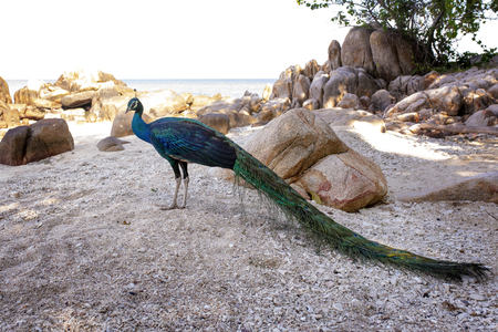 full body of indian peacock standing on sea beach at koh mun-nok island rayong eastern of thailand