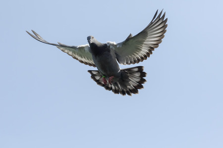 flying homing pigeon against clear blue sky