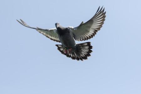 Paloma mensajera volando contra el cielo azul claro