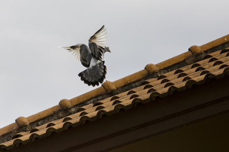 pigeon bird approaching for perching on home roof Stock Photo