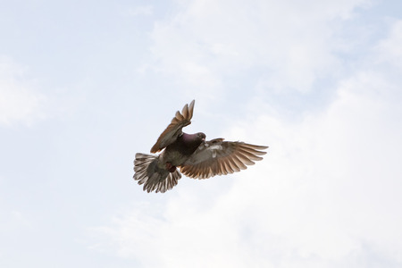 red choco feather of homing pigeon hovering wing before landing to ground