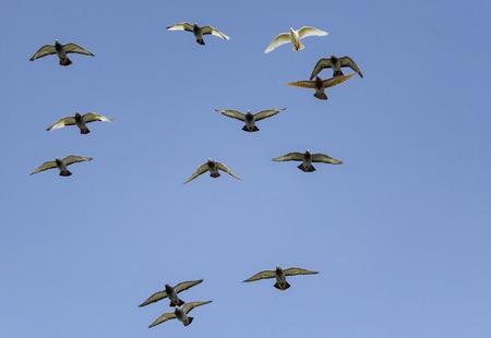 Herde von Speed Racing Taubenvögeln, die gegen klaren blauen Himmel fliegen Standard-Bild