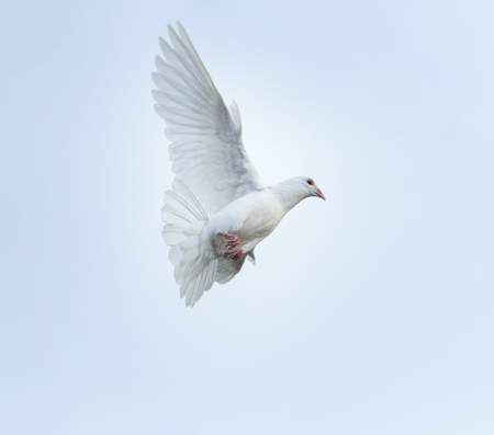 white feather homing pigeon bird flying mid air Stok Fotoğraf