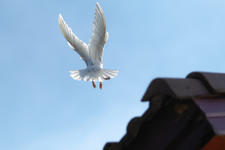 white feather homing pigeon bird approaching for landing to home roof Stock Photo