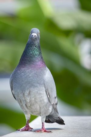 full body of speed racing pigeon bird standing on home roof  looking straight  to camera 写真素材