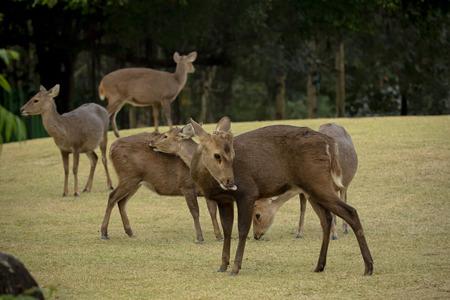 flock of hog deer on green grass field