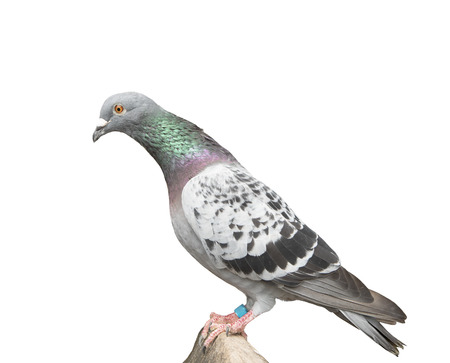 full body of speed racing pigeon bird perching on wood path isolated white background