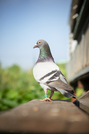 close up full body of speed racing pigeon perching on wood floor Stock fotó
