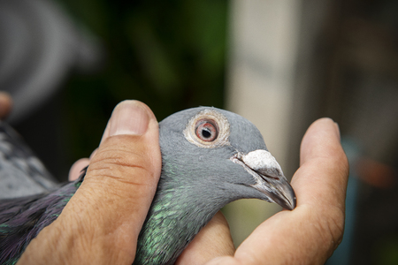 close up eyes and head of speed racing pigeon bird