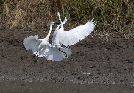 fighting of egret bird on mud flat