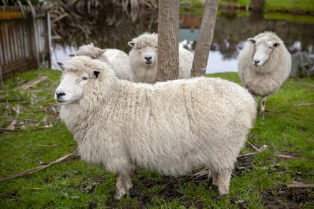 merino sheep in new zealand domestic farm