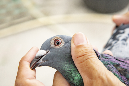 close-up face and eyesight of speed racing pigeon bird in owner hand