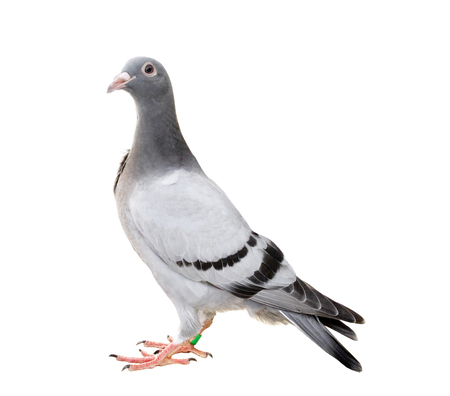 homing pigeon isolate white