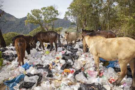 chiangmai thailand - january 9,2016 : flock of domestic horse feeding in plastic bag garbage field ,plastic garbage is big problem of environment disaster in thailand Editorial