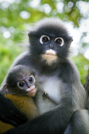 wilderness dusky leaf monkey and baby in hug