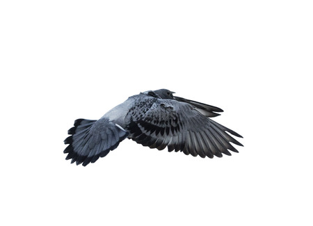 flying pigeon bird isolated white background
