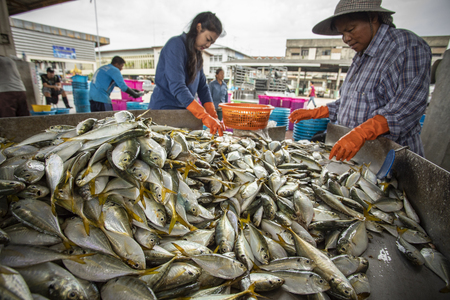 samutsakorn thailand - september8,2018 : unidentified worker collecting size and kind of fish was catching from fishery boat at mahachai district important fishery industry outskirt bangkok thailand capital