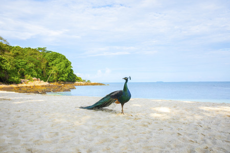 indian peacock standing on beautiful sea beach of koh munnok island rayong thailand