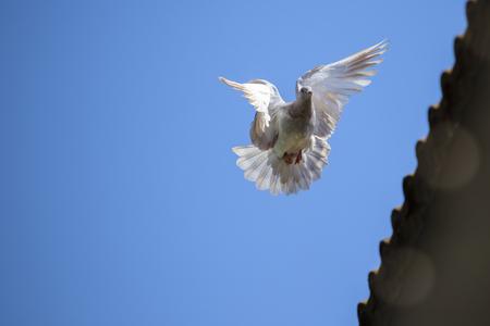 speed racing pigeon bird flying mid air against clear blue sky Stok Fotoğraf - 110519988