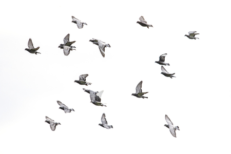 flock of speed racing pigeon flying against white sky background