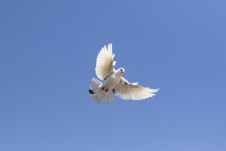 full body of white feather homing pigeon flying against clear blue sky Stock Photo