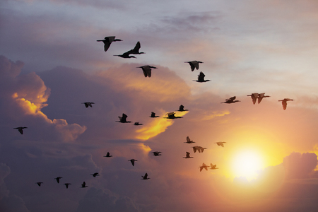 flock of  Cormorant bird flying against beautiful sun light sky