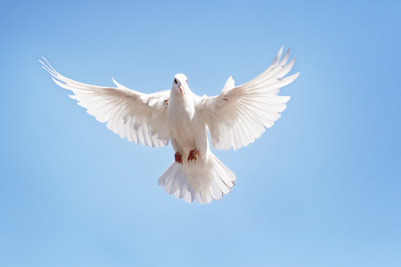 full body of white feather pigeon flying against clear blue sky Фото со стока