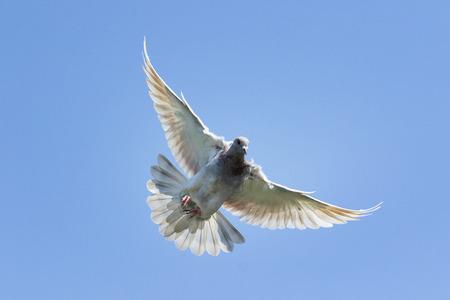 fliegende Geschwindigkeit, die Taubenvogel gegen klaren blauen Himmel rast
