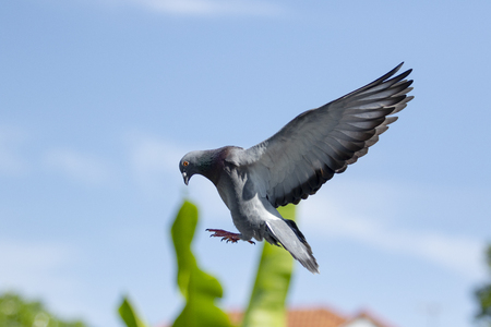 homing pigeon bird hovering before landing to home loft