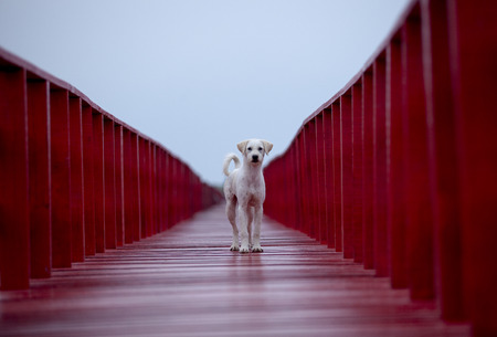 homeless dog standing on red wood bridge and looking fot future in empty clear sky