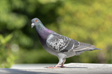 side view full body of speed racing pigeon against green blur background 写真素材