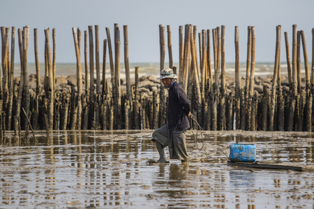 samuthsakorn thailand - march8,2017 : domestic life of fishery villager seeking for oyster in mud flat of local coastal of samuthsakorn province outskirt bangkok thailand capital city