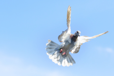 speed racing pigeon flying against clear blue sky Stock Photo