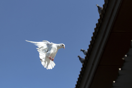 white feather homing pigeon flying against clear blue sky Imagens